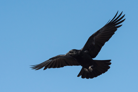 Carrion Crow, Crow, Corvus Corone