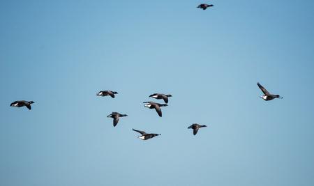 Brent Goose, Branta bernicla Stock Photo
