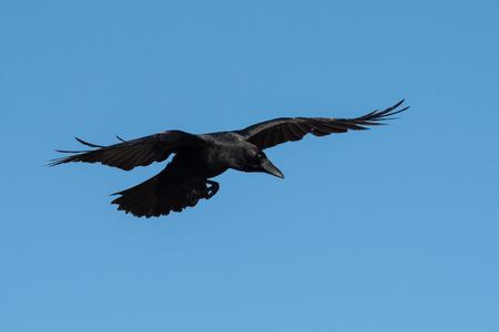 Carrion Crow, Crow, Corvus Corone