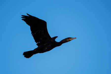 Cormorant, Phalacrocorax carbo