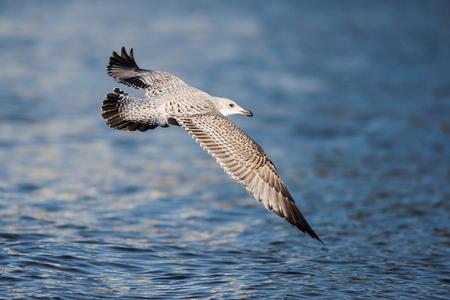 Herring Gull, Sea Gull, Gulls