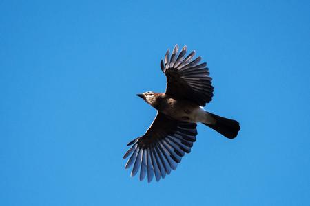 Birds - Jay, Garrulus glandarius