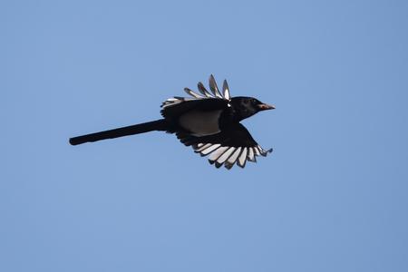 Eurasian Magpie, Common Magpie, Pica Pica