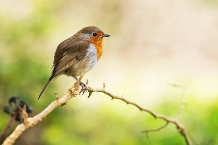European Robin, Robin, Erithacus rubecula Stock Photo