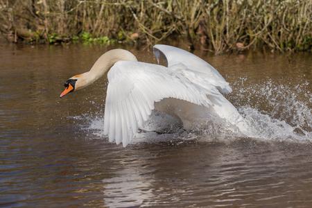 Mute Swan, Swans, Cygnus olor Stock Photo