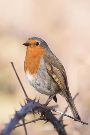 European Robin, Erithacus rubecula, Robin, Birds Stock Photo