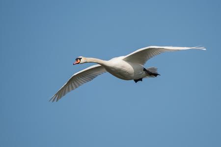 Mute Swan, Swans, Cygnus olor Banque d'images