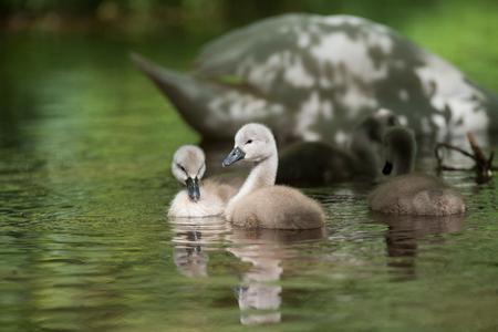 Mute Swan, Swans, Cygnus olor - nestlings Stock Photo