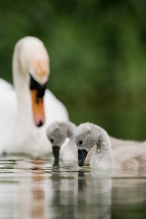 Mute Swan, Swans, Cygnus olor - nestlings Imagens