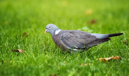 Pigeon ramier, Pigeon ramier, Columba palumbus