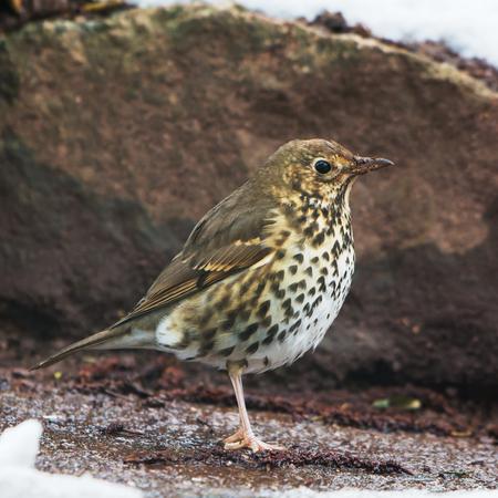 Garden songbird - Song Thrush, Turdus philomelos