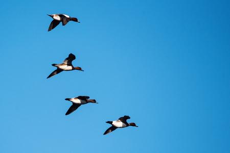 Eurasian Wigeon, Wigeon, Duck, Anas Penelope Stock Photo