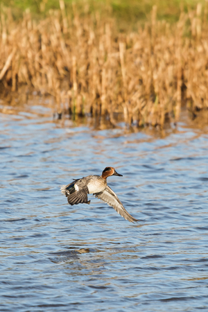 Common Teal, Teal, Anas crecca Stock Photo