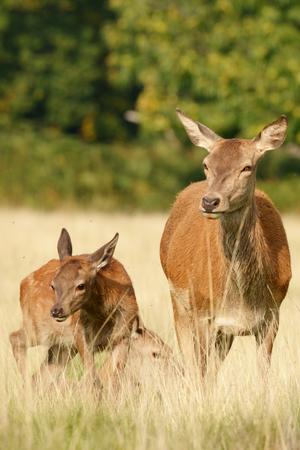 Rut time - Red Deer, Deer, Cervus elaphus
