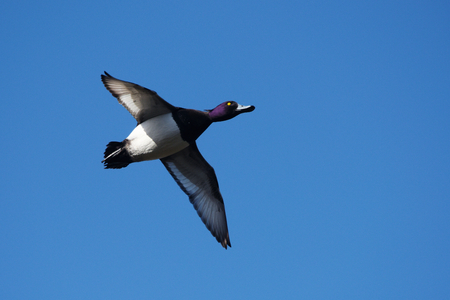 Tufted Duck, Aythya fuligula Stock Photo
