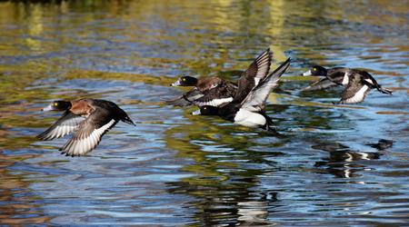 Tufted Duck, Aythya fuligula Stock Photo