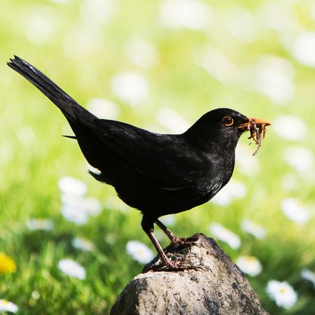 Blackbird, Turdus merula on the rock