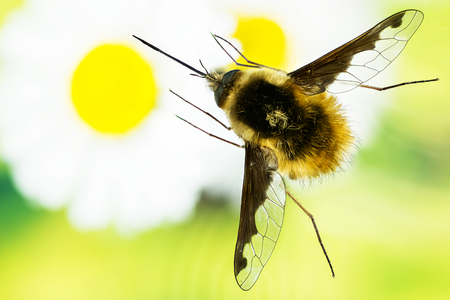Large Bee-fly, Dark-edged bee-fly, Bombylius major