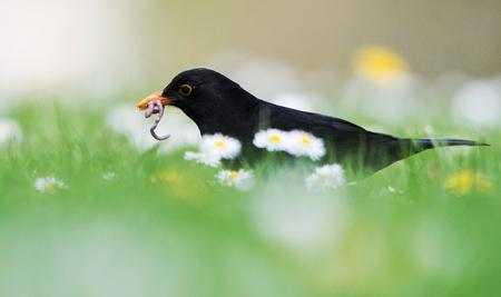 Birds - Blackbird, Turdus merula
