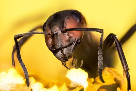 Wood ant, Ant, Ants, Formica rufa