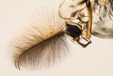 Chironomid Midge, Chironomus sp., Midge, Non biting Midge Stock Photo