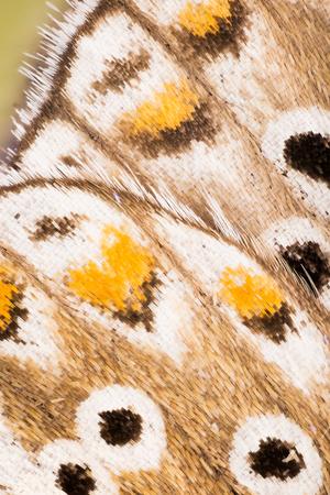 WINGS - Butterflies, Adonis blue, Polyommatus bellargus