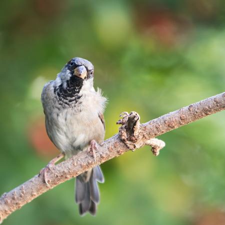 House Sparrow, Sparrow, Passer domesticus