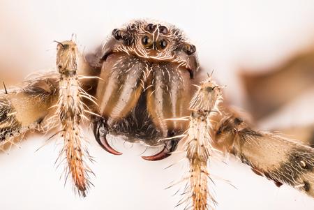 European Garden Spider, Diadem Spider, Cross Spider, Crowned Orb Weaver, Araneus diadematus
