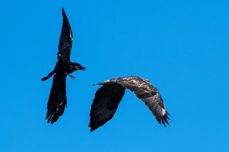 Common Common Buzzard, Buteo buteo vs. Carrion Crow, Corvus Corone