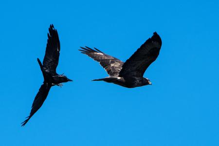 Common Buzzard, Buteo buteo vs. Carrion Crow, Corvus Corone
