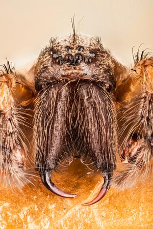 Giant House Spider, House Spider, Eratigena atrica Фото со стока