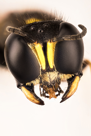 Square-headed Wasp, Square Headed Wasp, Ectemnius cephalotes, Ectemnius sp. Фото со стока