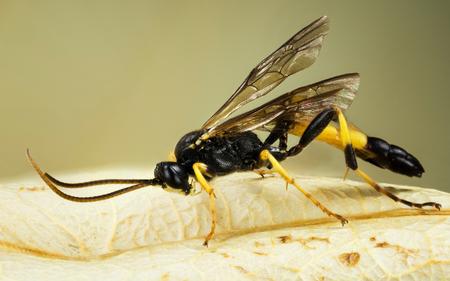 WASP - Ichneumon stramentor Фото со стока