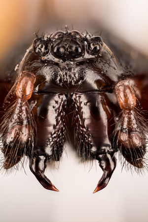 Spiders - Steatoda nobilis, Theridiidae Фото со стока