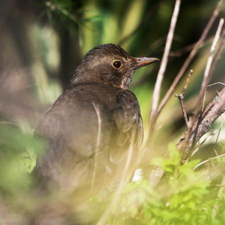 Park Birds - Blackbird, Turdus merula