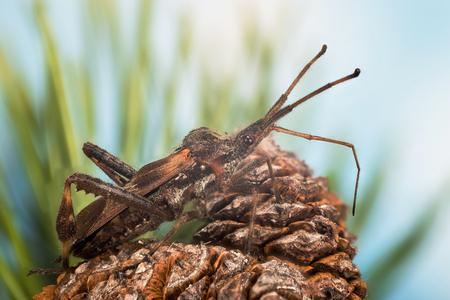 Focus Stacking - Western Conifer Seed Bug, Beetle, Leptoglossus occidentalis