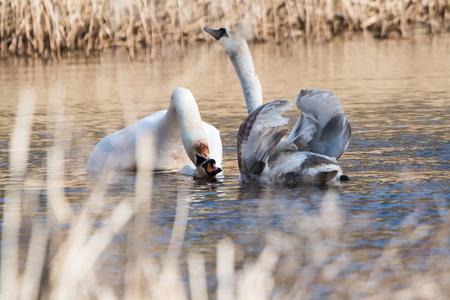 Mute Swan, Swan, Cygnus olor - copulation