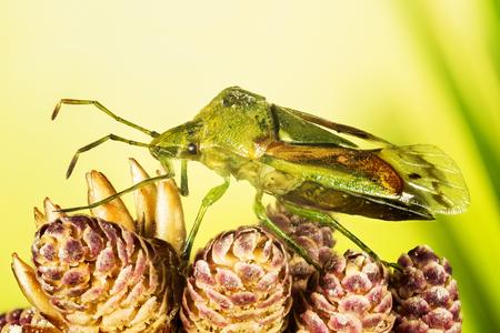 Juniper Shield Bug, Cyphostethus tristriatus