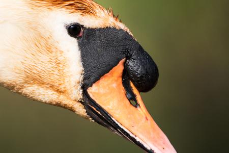 Mute Swan, Swan, Cygnus olor Фото со стока