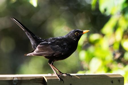 Eurasian blackbird, Blackbird, Turdus merula Фото со стока