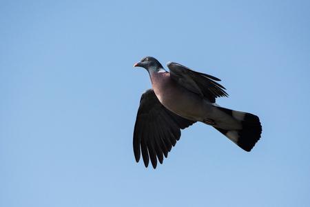 Common Wood Pigeon, Wood Pigeon, Columba palumbus Фото со стока - 120891832