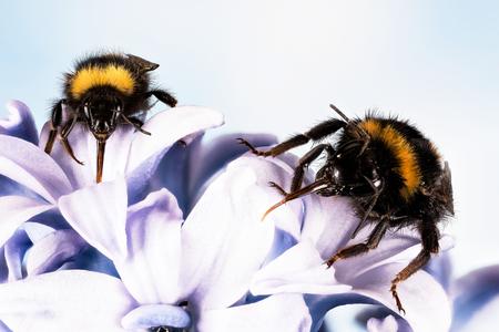 Buff-tailed Bumblebee, Bumblebee, Bombus terrestris Фото со стока - 120891834