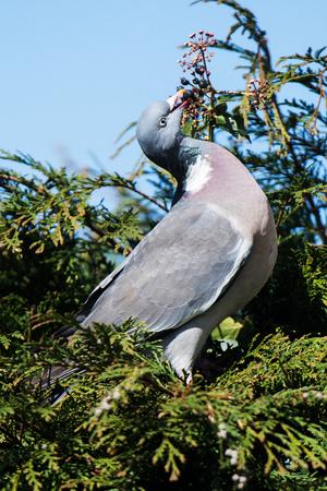 Common Wood Pigeon, Wood Pigeon, Columba palumbus Фото со стока - 120891843