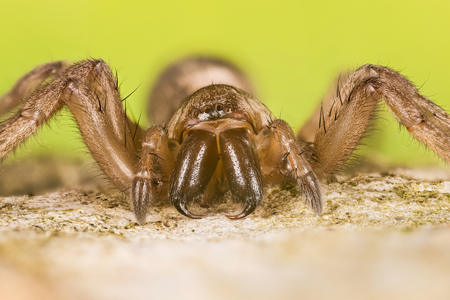 Mouse Spider, Common Mouse-spider, Spider, Scotophaeus blackwalli Фото со стока - 120891873