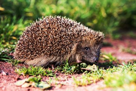 European Hedgehog, Common Hedgehog, Hedgehog, Erinaceus europaeus Фото со стока - 123443691