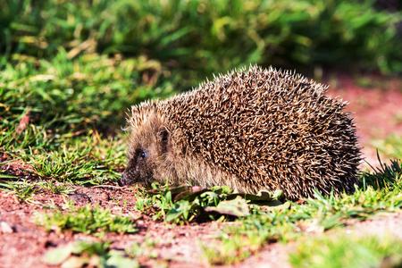 European Hedgehog, Common Hedgehog, Hedgehog, Erinaceus europaeus Фото со стока