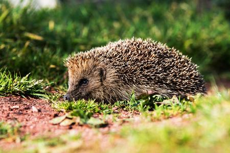 European Hedgehog, Common Hedgehog, Hedgehog, Erinaceus europaeus Stock Photo