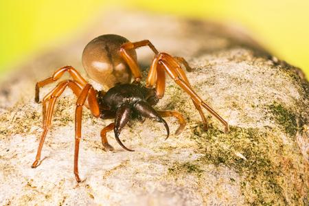 Woodlouse Spider, Woodlouse Hunter, Spider, Dysdera crocata