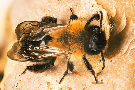 Gray-patched Mining Bee, Mining Bee, Andrena nitida Фото со стока