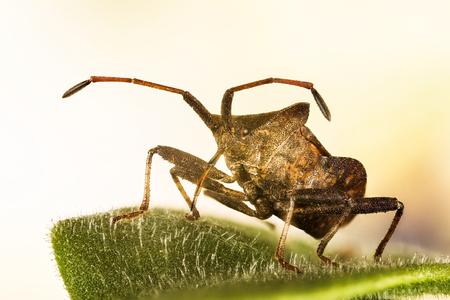 Forest Shieldbug, Red-legged Shieldbug, Forest Bug, Pentatoma rufipes